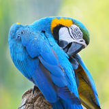 Blue and Gold Macaw. Beautiful parrot bird, Blue and Gold Macaw in portrait profile Royalty Free Stock Image