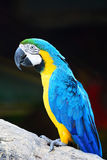 Blue and Gold Macaw. Beautiful parrot bird, Blue and Gold Macaw in portrait profile Stock Images