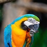 Blue and Gold Macaw. Beautiful parrot bird, Blue and Gold Macaw in portrait profile Royalty Free Stock Photo