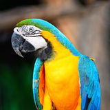 Blue and Gold Macaw. Beautiful parrot bird, Blue and Gold Macaw in portrait profile Stock Photo