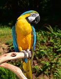 Blue and Gold Macaw. Beautiful Blue and Gold Macaw perching on a branch outdoors Royalty Free Stock Photography
