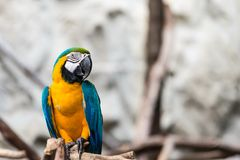 Blue and Gold macaw bird Stock Photo
