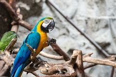 Blue and Gold macaw bird Stock Images