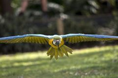 Blue and gold macaw. The blue and gold macaw  is flying straight at me Royalty Free Stock Photo