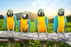 Blue and Gold Macaw on branch in tropical forest Royalty Free Stock Image