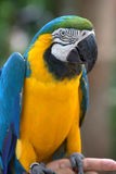 Blue and Gold Macaw, Brazil, South America Royalty Free Stock Photo
