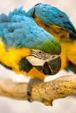 Blue And Gold Macaw in a Cage. At the Zoo Stock Photos