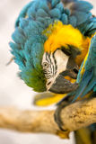 Blue And Gold Macaw in a Cage. At the Zoo Pruning its Feathers Stock Images