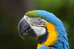 Blue and Gold Macaw Parrot Royalty Free Stock Image