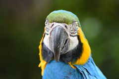 Blue and Gold Macaw Parrot Stock Image