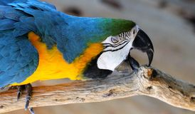 Blue and Gold Macaw Chewing Royalty Free Stock Photos