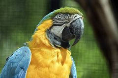 Blue and gold macaw. This is a close up of a blue and gold macaw Stock Photos