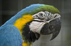 Blue and gold macaw. This is a close up of a blue and gold macaw Stock Photo