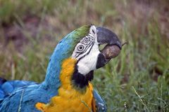 Blue and gold macaw. This is a  close up of a blue and gold macaw eating a nut Royalty Free Stock Photography