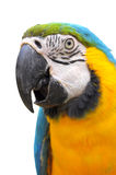 Blue-and-Gold Macaw Royalty Free Stock Images