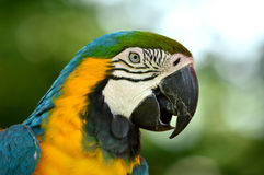 Blue and Gold Macaw. A close up shot of a blue and gold macaw Stock Photography