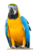 Blue and Gold Macaw Royalty Free Stock Images