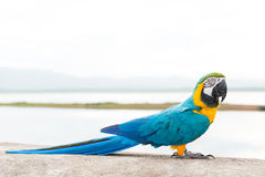Blue & Gold Macaw Stock Image