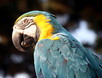 Blue and gold macaw closeup. Closeup of the head of a blue and gold macaw stock images