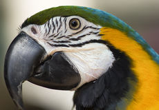 A blue and gold macaw. A closeup of a blue and gold macaw's face in profile Stock Image