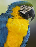 A blue and gold macaw. A closeup of a blue and gold macaw's face and upper body in profile Stock Image