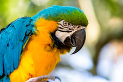Blue and Gold Macaw. A colorful Blue and Gold Macaw Stock Photos