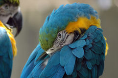 Blue and Gold Macaw Detail. A unique view of a Blue and Gold Macaw Stock Images