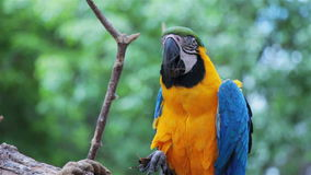 Blue and Gold Macaw eating food 1 stock footage