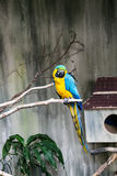 Blue and Gold Macaw Royalty Free Stock Photos