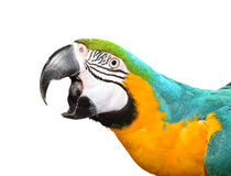 Blue and Gold Macaw Face Stock Image