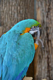 Blue and Gold Macaw facing to right. Ara ararauna- Blue and Gold Macaw turned to look at camera while preening...beautiful blue feathers with flecks of gold and Royalty Free Stock Images