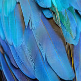 Blue and Gold Macaw feathers Stock Photo