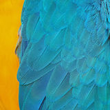 Blue and Gold Macaw feathers Royalty Free Stock Images