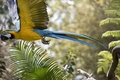 Blue and gold macaw. The blue and gold macaw  is flying  across the field Royalty Free Stock Image