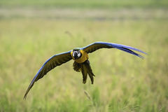 Blue and gold macaw flying in rice field Royalty Free Stock Image