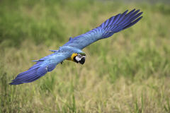 Blue and gold macaw flying in rice field. Blue and gold macaw flying in nature Royalty Free Stock Photo