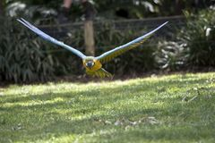 Blue and gold macaw. The blue and gold macaw  is flying straight at me Stock Image