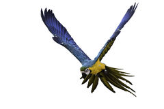 Blue and gold macaw flying on white background, clipping path Royalty Free Stock Image