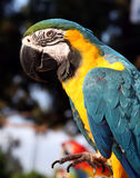 Blue and gold macaw with foot up. Blue and gold macaw with its foot lifted up royalty free stock photo