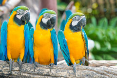 Blue and Gold Macaw in the forest Stock Photography