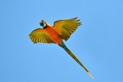 Blue-gold macaw fying Royalty Free Stock Photography