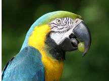 Blue-and-gold Macaw with grape Stock Photos