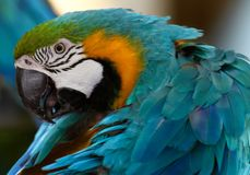 Blue & Gold macaw. Grooming it self Royalty Free Stock Photography