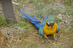Blue and gold macaw. The blue and gold macaw is on the ground looking for food Stock Images