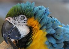 Blue and Gold Macaw head profile Stock Image