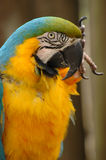 Blue-and-gold macaw head and upper body Stock Image