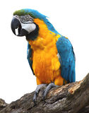 Blue and gold Macaw isolated Royalty Free Stock Images