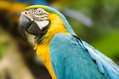 Blue and Gold Macaw in Natural Setting Royalty Free Stock Image