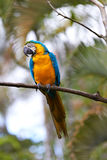 Blue-and-gold macaw in nature surrounding Stock Photos