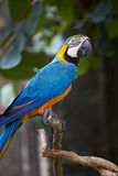 Blue-and-gold macaw in nature surrounding Royalty Free Stock Image